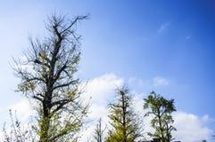 Ginkgoträdet Royaltyfri Foto