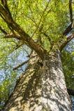 Ginkgoträdet Royaltyfri Fotografi