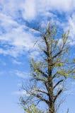 Ginkgoträdet Arkivbilder