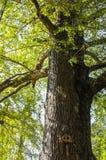 Ginkgoträdet Fotografering för Bildbyråer
