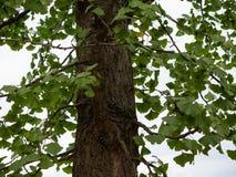 Ginkgoträdstam, Ginkgo Biloba fotografering för bildbyråer