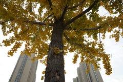 Ginko叶子和大厦在秋天 库存照片