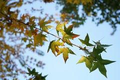 Ginko叶子和天空在秋天 免版税库存照片