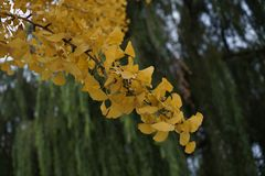 Ginko在秋天的叶子和柳树 免版税图库摄影