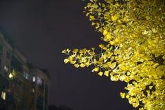 Ginko树和叶子在晚上 库存照片