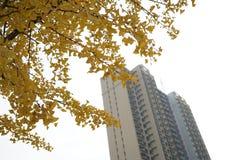 Ginko树和大厦在秋天 库存照片