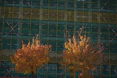 Ginko树和大厦在秋天 免版税库存照片