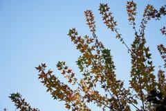 Ginko树和天空在秋天 免版税库存图片