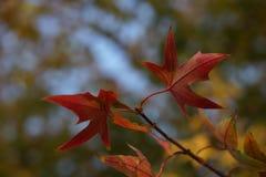 Ginko树和天空在秋天 图库摄影