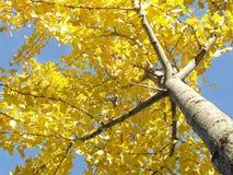 ginko结构树 库存图片