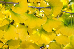 Ginko Abstract Background. Ginko biloba tree leaf abstract background blur stock photos
