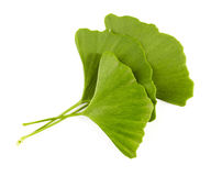 Ginko biloba Stock Photo