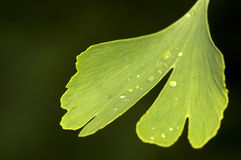 Ginko biloba Royalty Free Stock Images