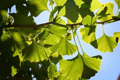 Ginko biloba. Shot of ginko leaves with great details seen stock images
