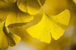 Ginko Biloba autumn leaves Royalty Free Stock Photo