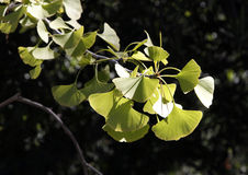 Ginko Biloba Royalty Free Stock Photography