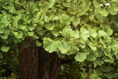 Ginko biloba foliage Stock Images