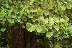 Ginko biloba foliage. Green nature background Stock Images