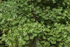 Ginko biloba foliage Stock Image