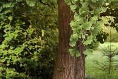 Ginko-biloba Laub lizenzfreies stockfoto