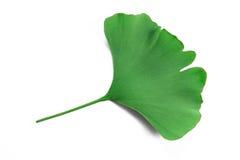 Ginko biloba leaf Stock Image