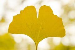Ginko Biloba leaf close up Royalty Free Stock Images