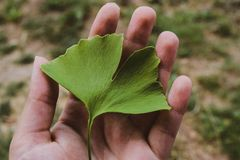 Ginko biloba leaf in hand of woman. royalty free stock photos