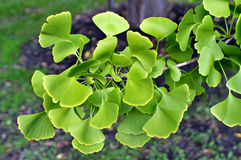 GInko BIloba leaves. Image of ginko BIloba leaves Stock Photography