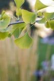 Ginko biloba leaves 2 Stock Photography