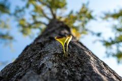 Ginko Biloba sidor på trädet Royaltyfri Fotografi
