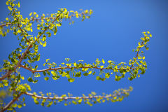 Ginko biloba tree against blue sky Royalty Free Stock Photography