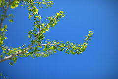Ginko biloba tree branch with vivid green leaves Stock Photos