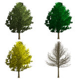 Ginko biloba tree rendering showing four season Royalty Free Stock Photos
