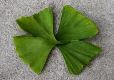 Ginko biloba, two leaves together. royalty free stock photo