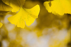 Ginko Biloba, yellow leaf background Royalty Free Stock Photo
