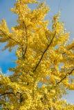 Ginko bilobaträd i gul höstlövverk mot den blåa himlen royaltyfria foton