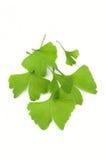 Ginko Blätter lizenzfreies stockbild