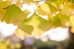 Ginko blad i nedgång med höstsidor i bakgrund arkivbild