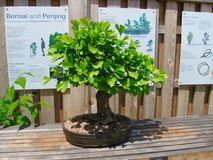 Ginko Bonsai. A Ginko bonsai tree growing in a pot on a sunny table, with a sign about the art of bonsai in the background Stock Photography