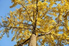 Ginko drzewo w spadku fotografia stock