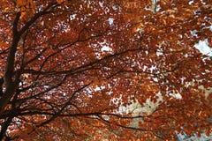 Ginko drzewo w spadku obraz royalty free
