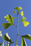 Ginko Stock Images