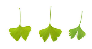 Ginko leaves Stock Images