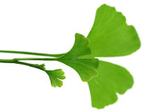 Ginko leaves. Close-ups of ginko leaves on white - herbal medicine Stock Photography