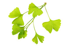 Ginko leaves Royalty Free Stock Images