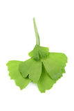 Ginko leaves. Close-ups of ginko leaves on white - herbal medicine Royalty Free Stock Photos