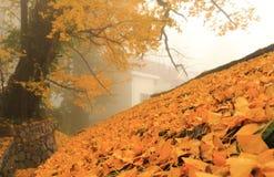 Ginko Leaves background Stock Photo