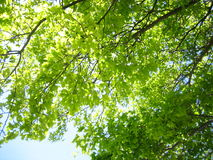 Ginko leaves with blue sky Royalty Free Stock Images