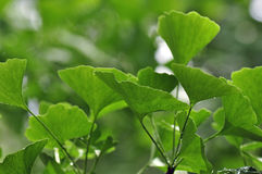 Ginko Leaves Royalty Free Stock Image