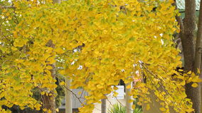 Ginko leaves changing colors. Yellow leaves of the ginko tree in the fall Stock Images
